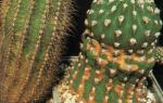 Кактусы: особенности ухода в домашних условиях
