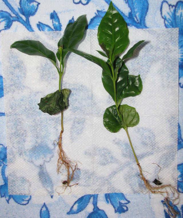 Как вырастить кофейное дерево в домашних условиях: секреты цветовода