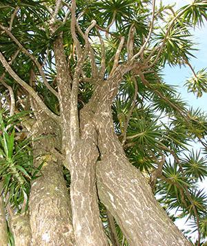 Драцена marginata: особенности ухода за экзотом