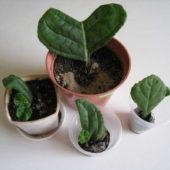 Глоксиния: правила ухода и размножения в домашних условиях