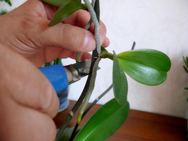 Орхидея: уход и размножение