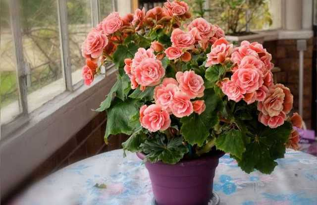 Бегония красивоцветущая: выращивание в домашних условиях